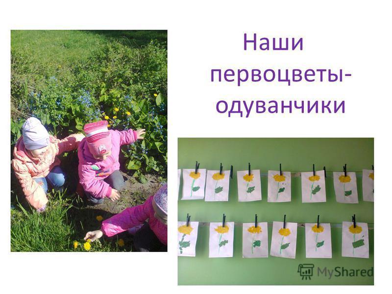 Наши первоцветы- одуванчики