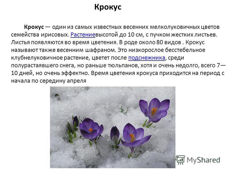 Крокус Крокус один из самых известных весенних мелколуковичных цветов семейства ирисовых. Растениевысотой до 10 см, с пучком жестких листьев. Листья появляются во время цветения. В роде около 80 видов. Крокус называют также весенним шафраном. Это низ