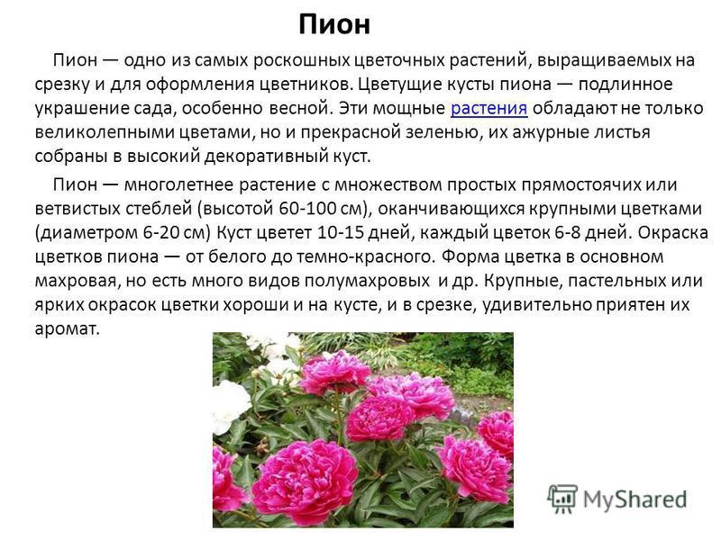 Пион Пион одно из самых роскошных цветочных растений, выращиваемых на срезку и для оформления цветников. Цветущие кусты пиона подлинное украшение сада, особенно весной. Эти мощные растения обладают не только великолепными цветами, но и прекрасной зел