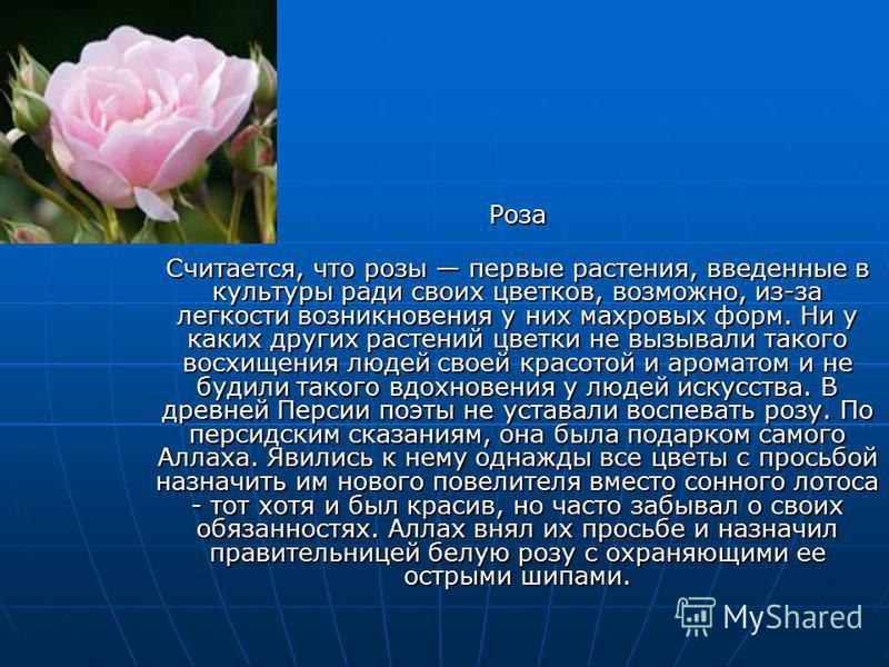 Роза Считается, что розы первые растения, введенные в культуры ради своих цветков, возможно, из-за легкости возникновения у них махровых форм. Ни у каких других растений цветки не вызывали такого восхищения людей своей красотой и ароматом и не будили
