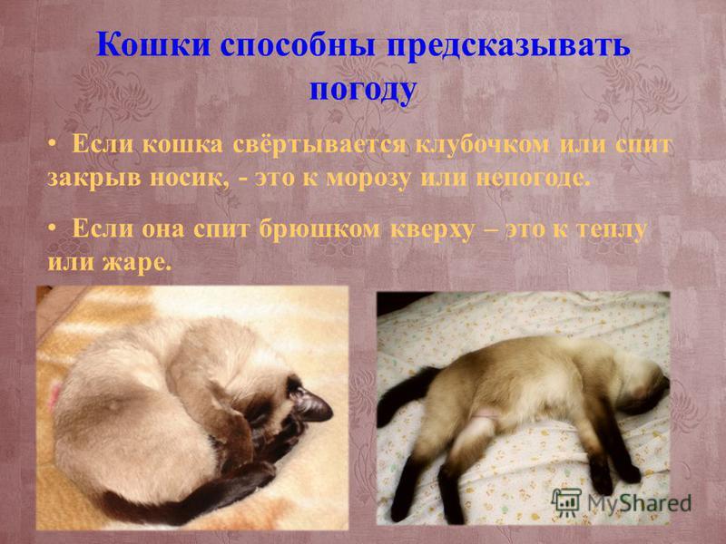 Кошки способны предсказывать погоду Если кошка свёртывается клубочком или спит закрыв носик, - это к морозу или непогоде. Если она спит брюшком кверху – это к теплу или жаре.