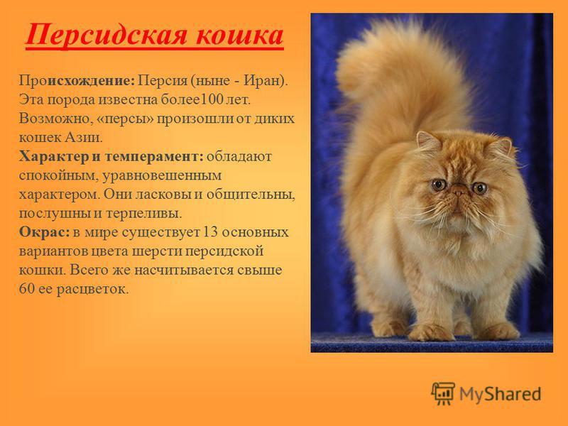 Персидская кошка Происхождение: Персия (ныне - Иран). Эта порода известна более 100 лет. Возможно, «персы» произошли от диких кошек Азии. Характер и темперамент: обладают спокойным, уравновешенным характером. Они ласковы и общительны, послушны и терп