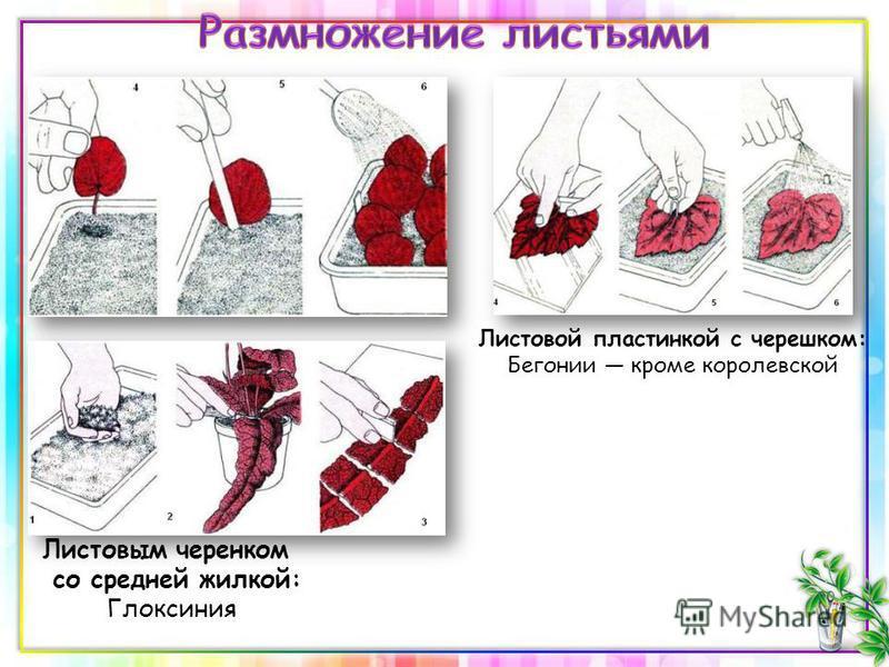 Листовой пластинкой с черешком: Бегонии кроме королевской Листовым черенком со средней жилкой: Глоксиния