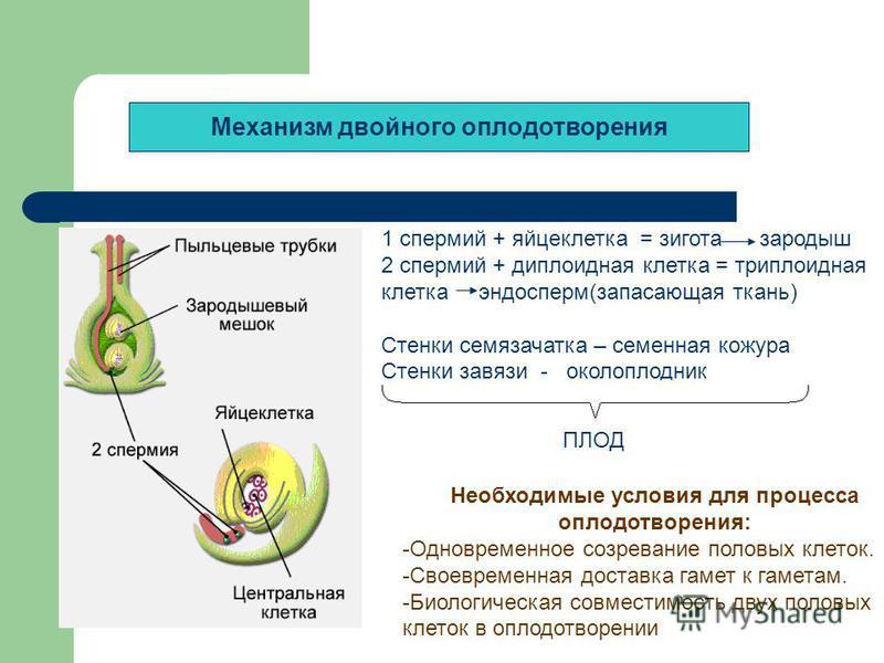 Механизм двойного оплодотворения 1 спермий + яйцеклетка = зигота зародыш 2 спермий + диплоидная клетка = триплоидная клетка эндосперм(запасающая ткань) Стенки семязачатка – семенная кожура Стенки завязи - околоплодник зародыш Необходимые условия для