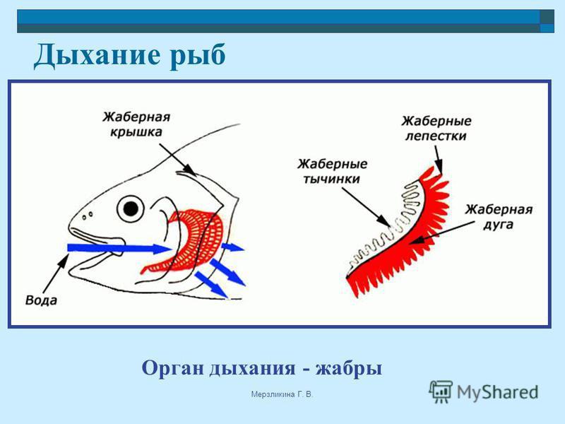 Мерзликина Г. В. Дыхание рыб Орган дыхания - жабры