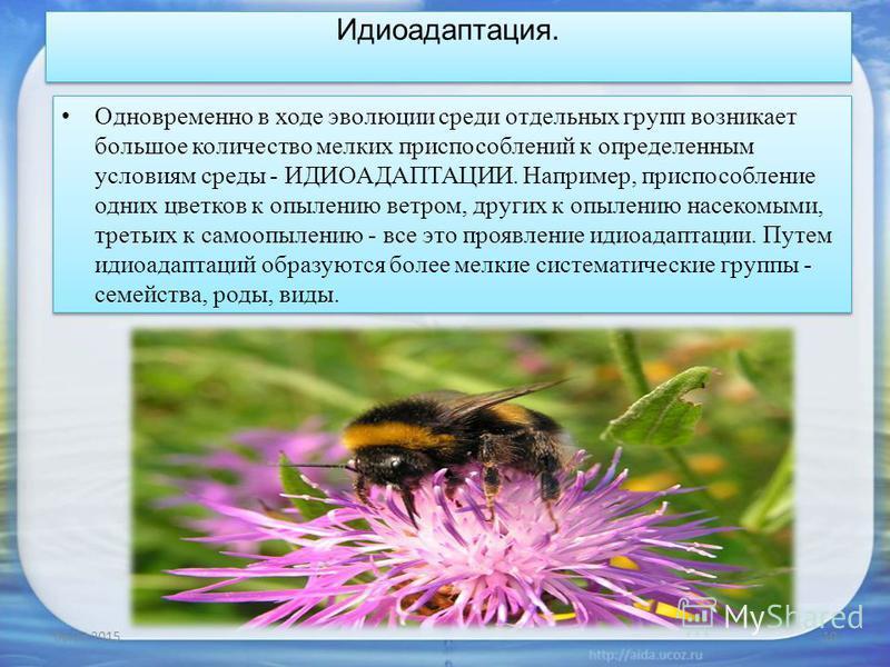 Идиоадаптация. Одновременно в ходе эволюции среди отдельных групп возникает большое количество мелких приспособлений к определенным условиям среды - ИДИОАДАПТАЦИИ. Например, приспособление одних цветков к опылению ветром, других к опылению насекомыми