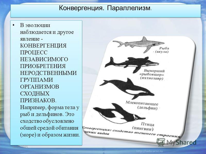 Конвергенция. Параллелизм. В эволюции наблюдается и другое явление - КОНВЕРГЕНЦИЯ ПРОЦЕСС НЕЗАВИСИМОГО ПРИОБРЕТЕНИЯ НЕРОДСТВЕННЫМИ ГРУППАМИ ОРГАНИЗМОВ СХОДНЫХ ПРИЗНАКОВ. Например, форма тела у рыб и дельфинов. Это сходство обусловлено общей средой об
