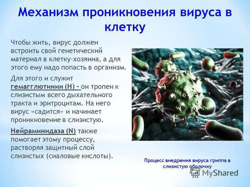Чтобы жить, вирус должен встроить свой генетический материал в клетку-хозяина, а для этого ему надо попасть в организм. Для этого и служит гемагглютинин (Н) – он тропин к слизистым всего дыхательного тракта и эритроцитам. На него вирус «садится» и на