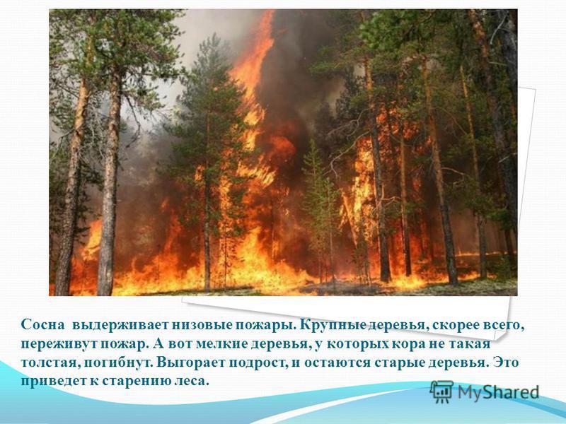 Сосна выдерживает низовые пожары. Крупные деревья, скорее всего, переживут пожар. А вот мелкие деревья, у которых кора не такая толстая, погибнут. Выгорает подрост, и остаются старые деревья. Это приведет к старению леса.