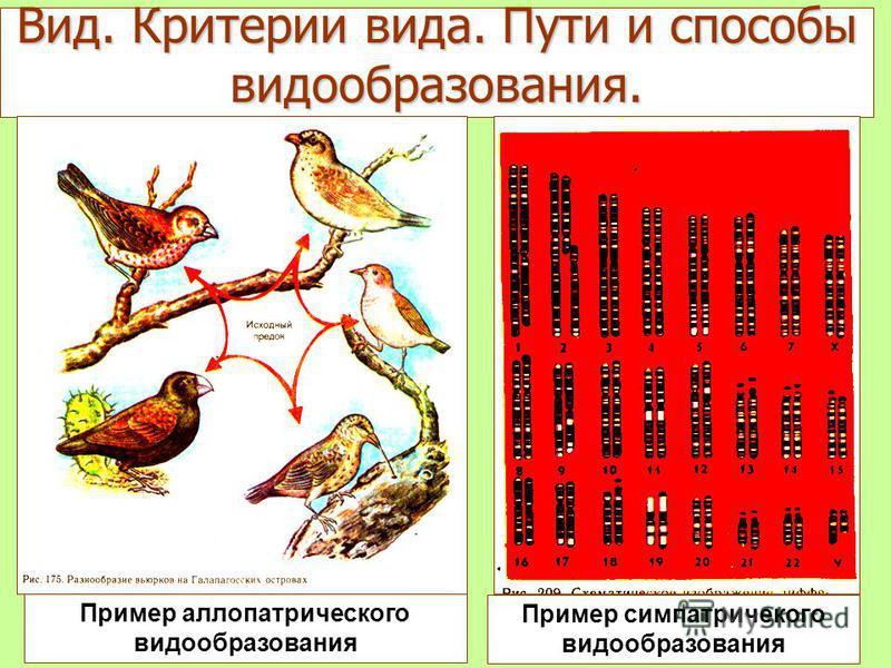 Пример аллопатрического видообразования Пример симпатричекого видообразования