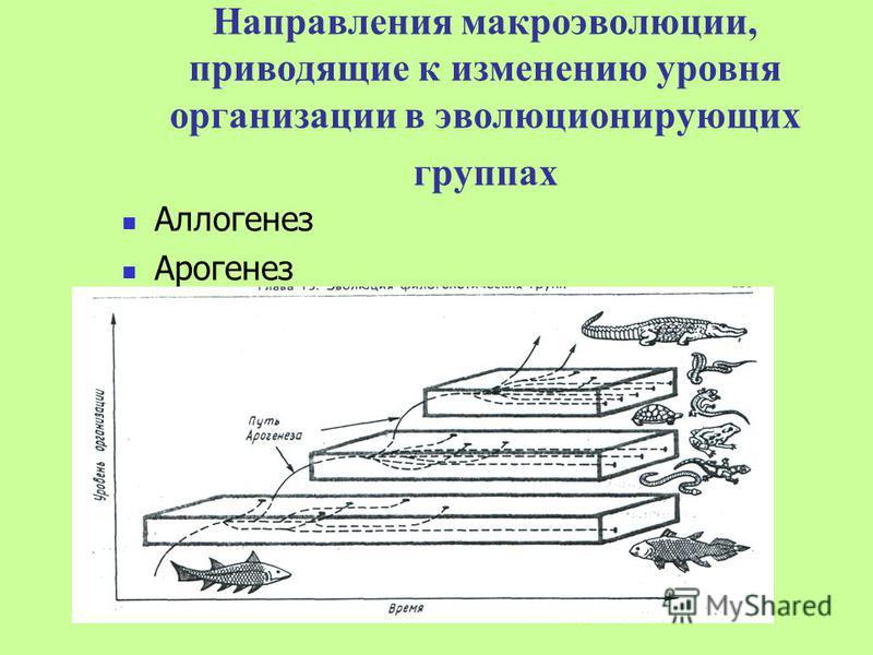 Направления макроэволюции, приводящие к изменению уровня организации в эволюционирующих группах Аллогенез Арогенез