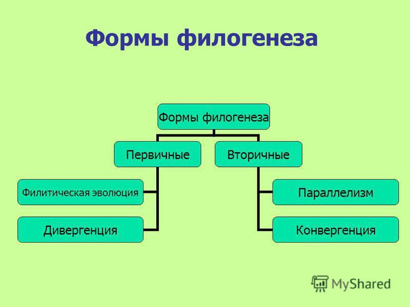 Формы филогенеза Первичные Филитическая эволюция Дивергенция Вторичные Параллелизм Конвергенция