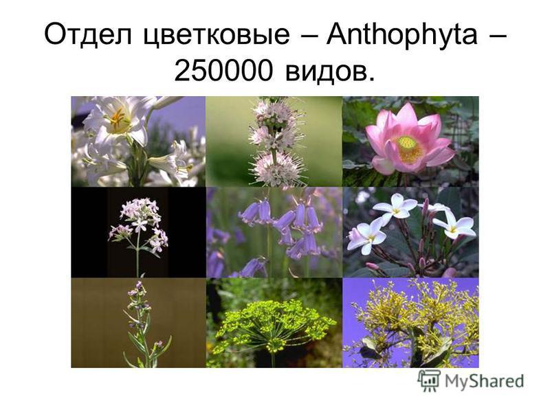 Отдел цветковые – Anthophyta – 250000 видов.