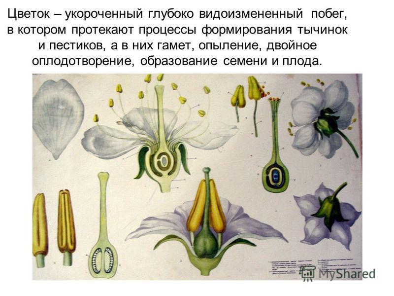 Цветок – укороченный глубоко видоизмененный побег, в котором протекают процессы формирования тычинок и пестиков, а в них гамет, опыление, двойное оплодотворение, образование семени и плода.