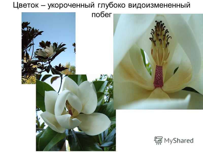 Цветок – укороченный глубоко видоизмененный побег