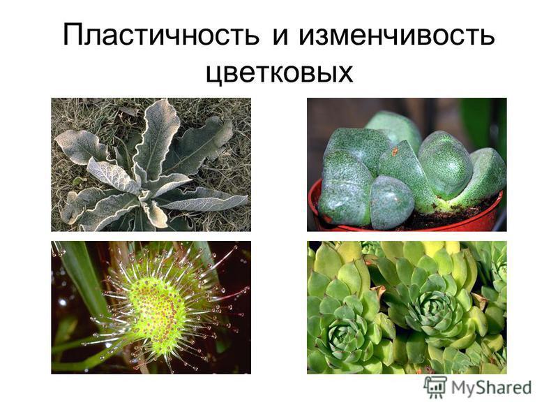 Пластичность и изменчивость цветковых