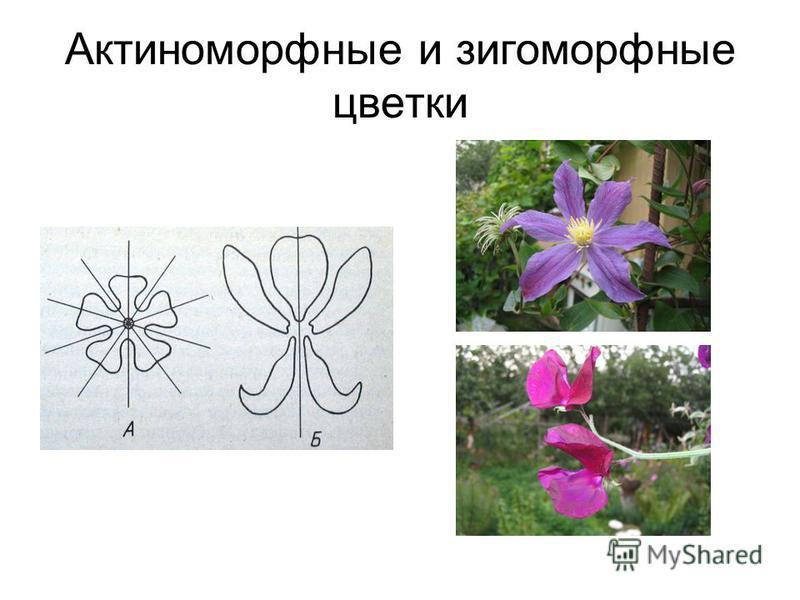Актиноморфные и зигоморфные цветки