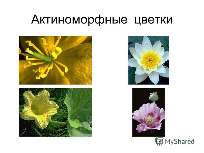 Актиноморфные цветки