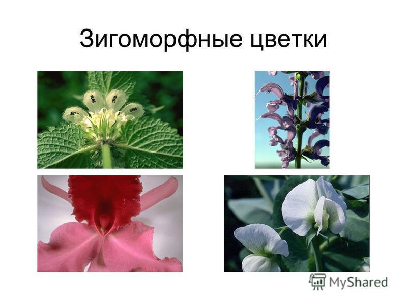 Зигоморфные цветки