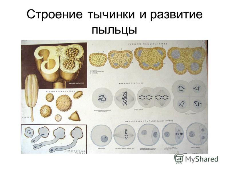 Строение тычинки и развитие пыльцы
