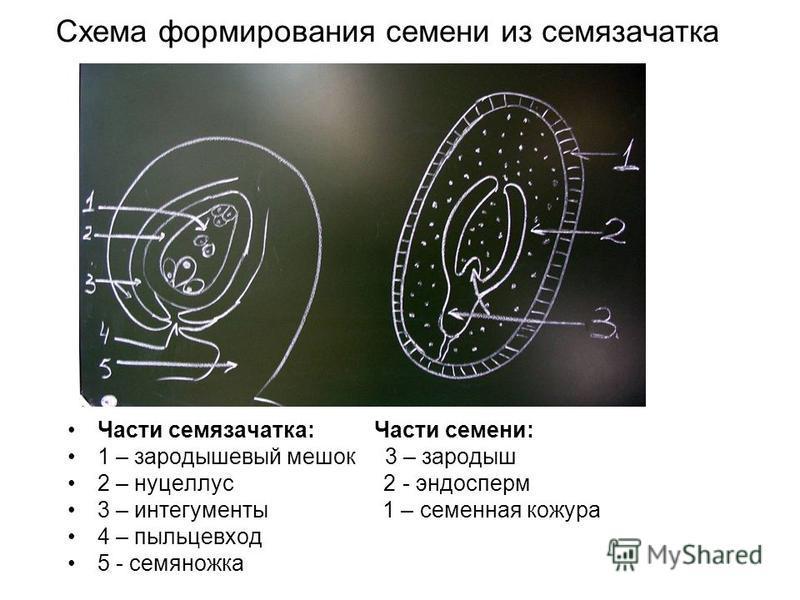 Схема формирования семени из семязачатка Части семязачатка: Части семени: 1 – зародышевый мешок 3 – зародыш 2 – нуцеллус 2 - эндосперм 3 – интегументы 1 – семенная кожура 4 – пыльцевход 5 - семяножка