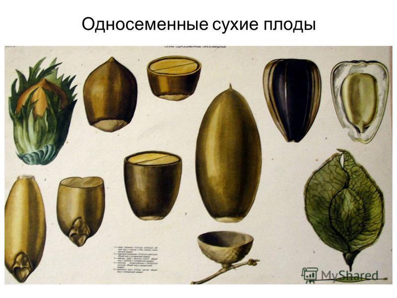 Односеменные сухие плоды