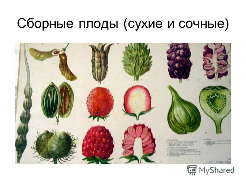 Сборные плоды (сухие и сочные)