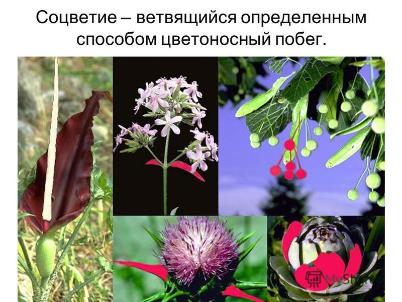 Соцветие – ветвящийся определенным способом цветоносный побег.