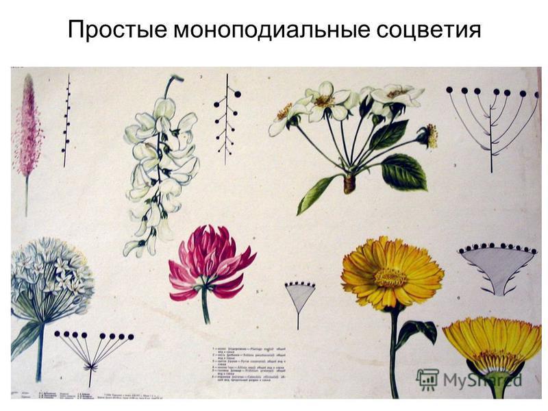 Простые моноподиальные соцветия