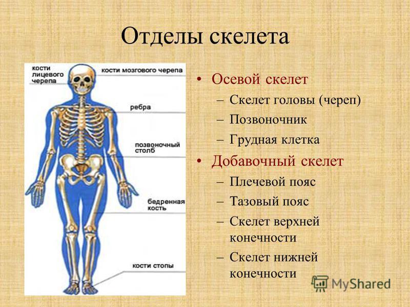 Отделы скелета Осевой скелет –Скелет головы (череп) –Позвоночник –Грудная клетка Добавочный скелет –Плечевой пояс –Тазовый пояс –Скелет верхней конечности –Скелет нижней конечности