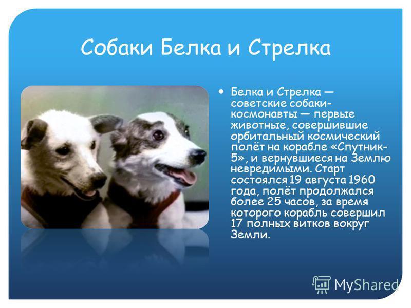 Собаки Белка и Стрелка Белка и Стрелка советские собаки- космонавты первые животные, совершившие орбитальный космический полёт на корабле «Спутник- 5», и вернувшиеся на Землю невредимыми. Старт состоялся 19 августа 1960 года, полёт продолжался более