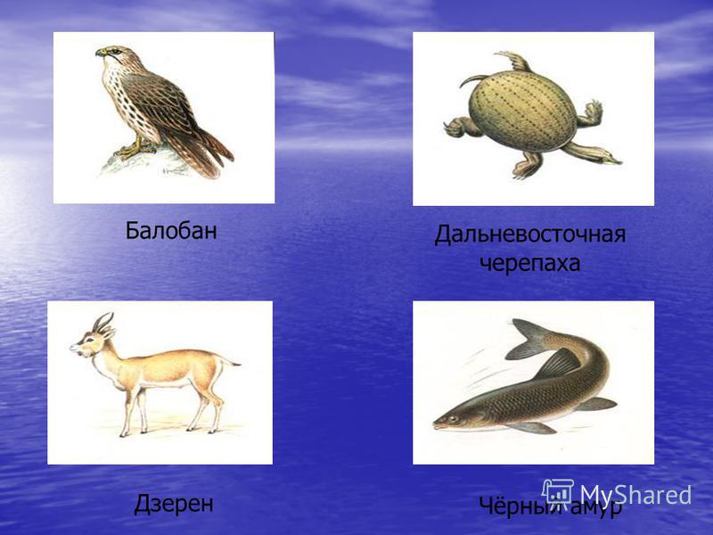 Балобан Дальневосточная черепаха Дзерен Чёрный амур