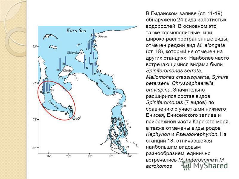 В Гыданском заливе (ст. 11-19) обнаружено 24 вида золотистых водорослей. В основном это также космополитные или широко-распространенные виды, отмечен редкий вид M. elongata (ст. 18), который не отмечен на других станциях. Наиболее часто встречающимис