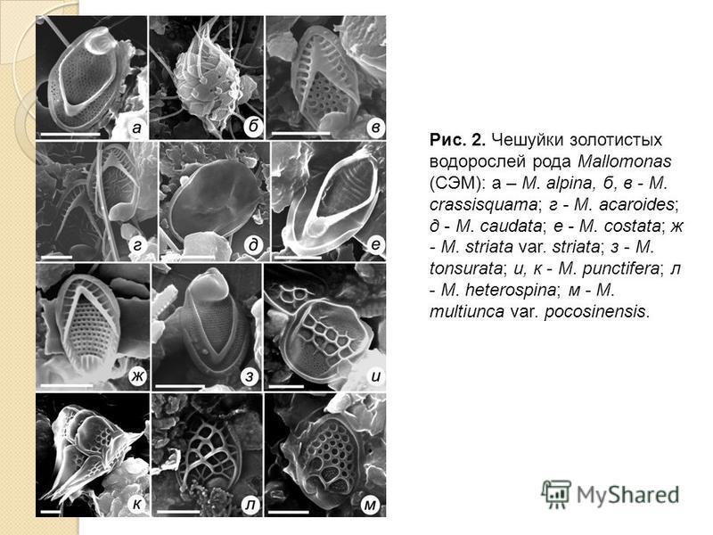 Рис. 2. Чешуйки золотистых водорослей рода Mallomonas (СЭМ): а – M. alpina, б, в - M. crassisquama; г - M. acaroides; д - M. caudata; е - M. costata; ж - M. striata var. striata; з - M. tonsurata; и, к - M. punctifera; л - M. heterospina; м - M. mult