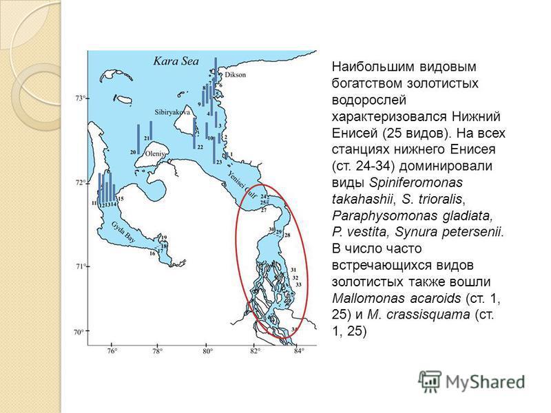 Наибольшим видовым богатством золотистых водорослей характеризовался Нижний Енисей (25 видов). На всех станциях нижнего Енисея (ст. 24-34) доминировали виды Spiniferomonas takahashii, S. trioralis, Paraphysomonas gladiata, P. vestita, Synura petersen