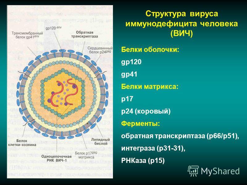 Структура вируса иммунодефицита человека (ВИЧ) Белки оболочки: gp120 gp41 Белки матрикса: p17 p24 (коровый) Ферменты: обратная транскриптаза (р 66/р 51), интеграза (р 31-31), РНКаза (р 15)