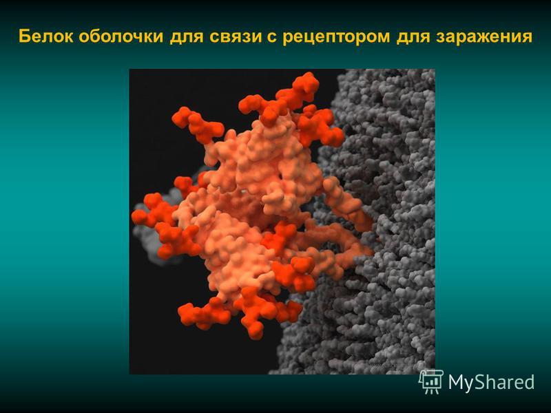 Белок оболочки для связи с рецептором для заражения