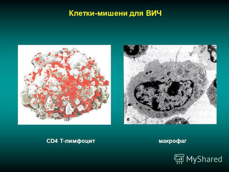 Клетки-мишени для ВИЧ CD4 Т-лимфоцитмакрофаг