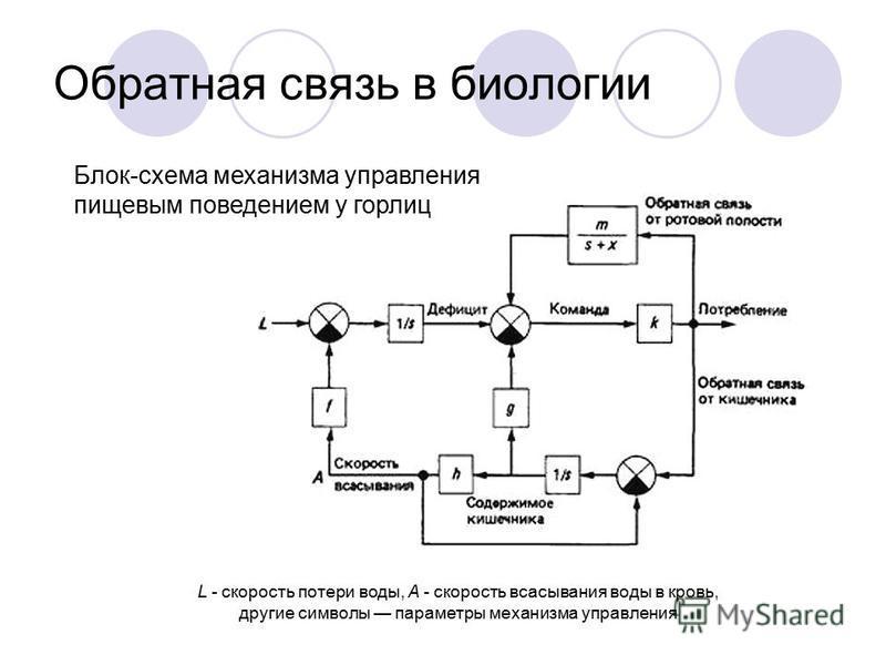 Обратная связь в биологии Блок-схема механизма управления пищевым поведением у горлиц L - скорость потери воды, А - скорость всасывания воды в кровь, другие символы параметры механизма управления