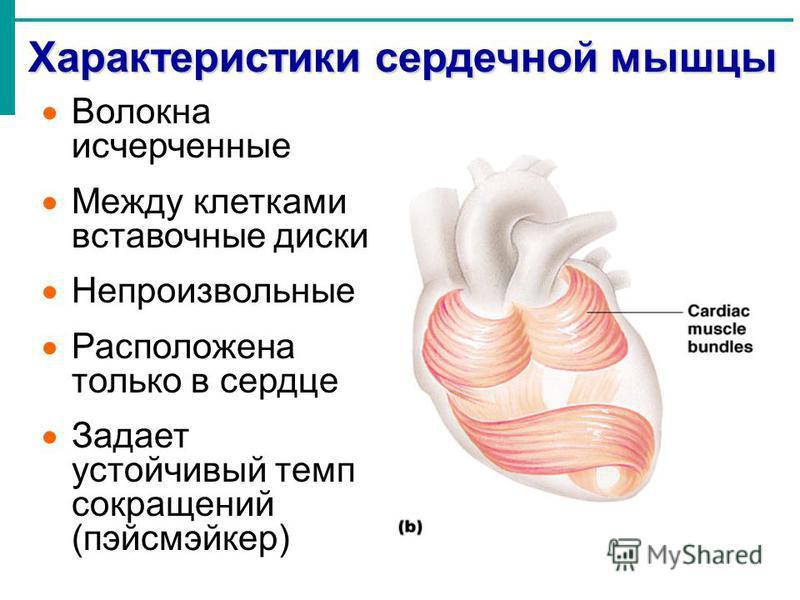 Характеристики сердечной мышцы Волокна исчерченные Между клетками вставочные диски Непроизвольные Расположена только в сердце Задает устойчивый темп сокращений (пэйсмэйкер)