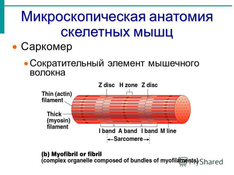 Саркомер Сократительный элемент мышечного волокна