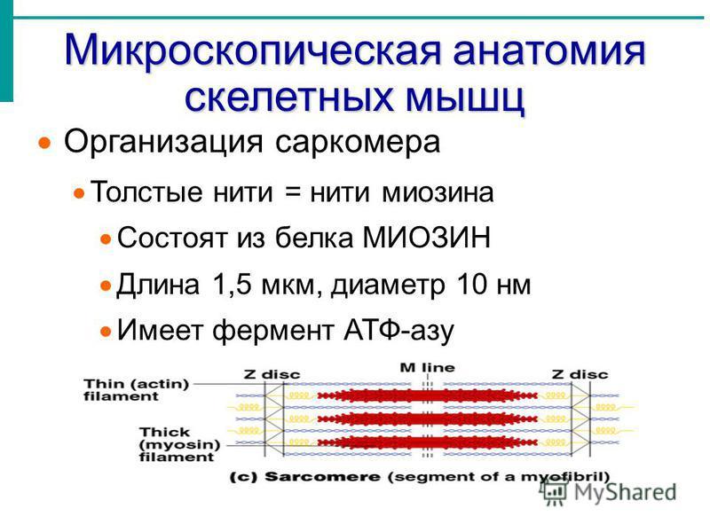 Микроскопическая анатомия скелетных мышц Организация саркомера Толстые нити = нити миозина Состоят из белка МИОЗИН Длина 1,5 мкм, диаметр 10 нм Имеет фермент АТФ-азу