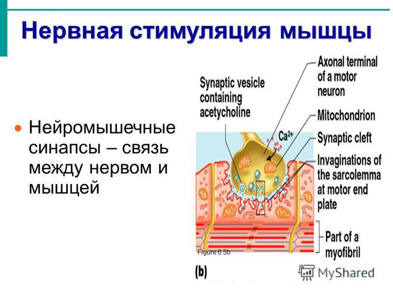 Нервная стимуляция мышцы Нейромышечные синапсы – связь между нервом и мышцей Figure 6.5b