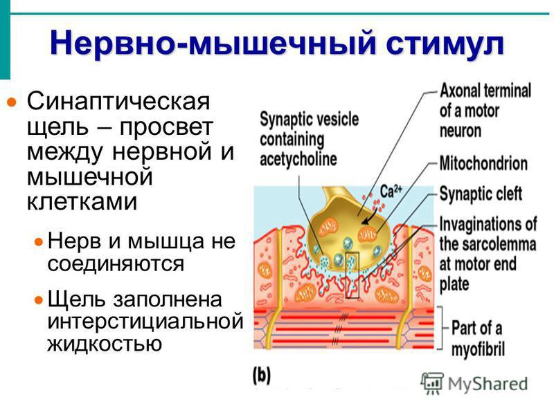 Нервно-мышечный стимул Синаптическая щель – просвет между нервной и мышечной клетками Нерв и мышца не соединяются Щель заполнена интерстициальной жидкостью