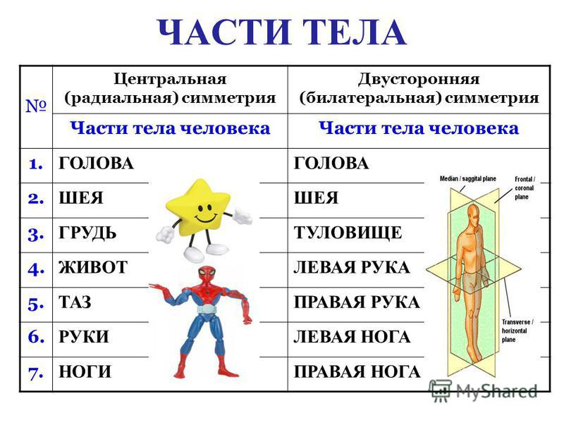ЧАСТИ ТЕЛА Центральная (радиальная) симметрия Двусторонняя (билатеральная) симметрия Части тела человека 1. ГОЛОВА 2. ШЕЯ 3. ГРУДЬТУЛОВИЩЕ 4. ЖИВОТЛЕВАЯ РУКА 5. ТАЗПРАВАЯ РУКА 6. РУКИЛЕВАЯ НОГА 7. НОГИПРАВАЯ НОГА