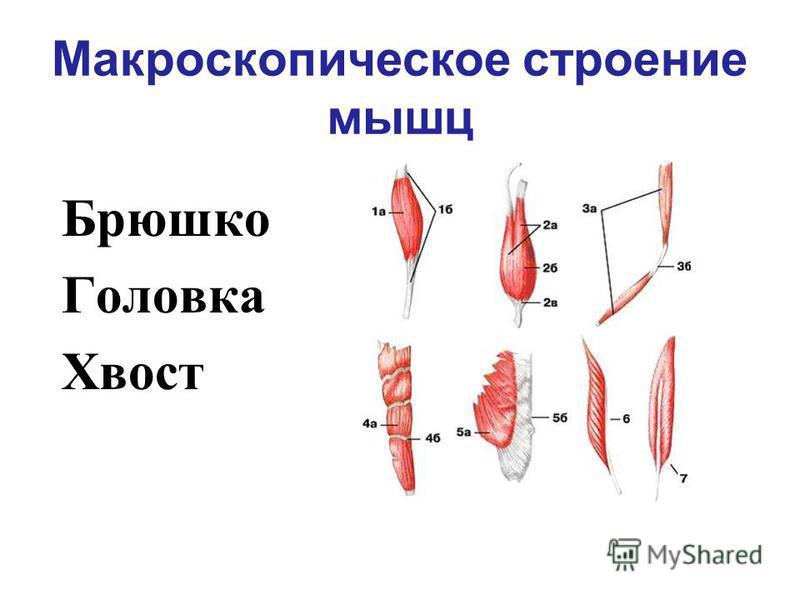 Макроскопическое строение мышц Брюшко Головка Хвост