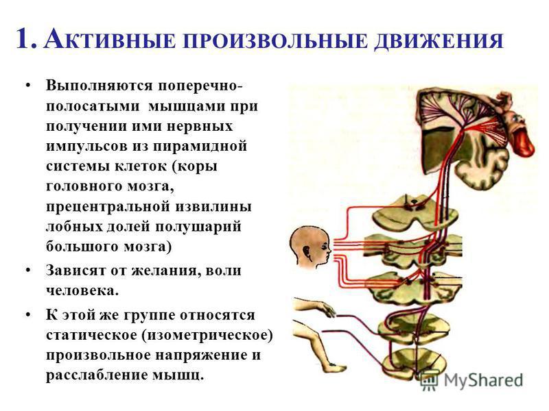 1. А КТИВНЫЕ ПРОИЗВОЛЬНЫЕ ДВИЖЕНИЯ Выполняются поперечно- полосатыми мышцами при получении ими нервных импульсов из пирамидной системы клеток (коры головного мозга, прецентральной извилины лобных долей полушарий большого мозга) Зависят от желания, во