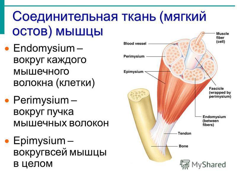 Соединительная ткань (мягкий остов) мышцы Endomysium – вокруг каждого мышечного волокна (клетки) Perimysium – вокруг пучка мышечных волокон Epimysium – вокруг всей мышцы в целом