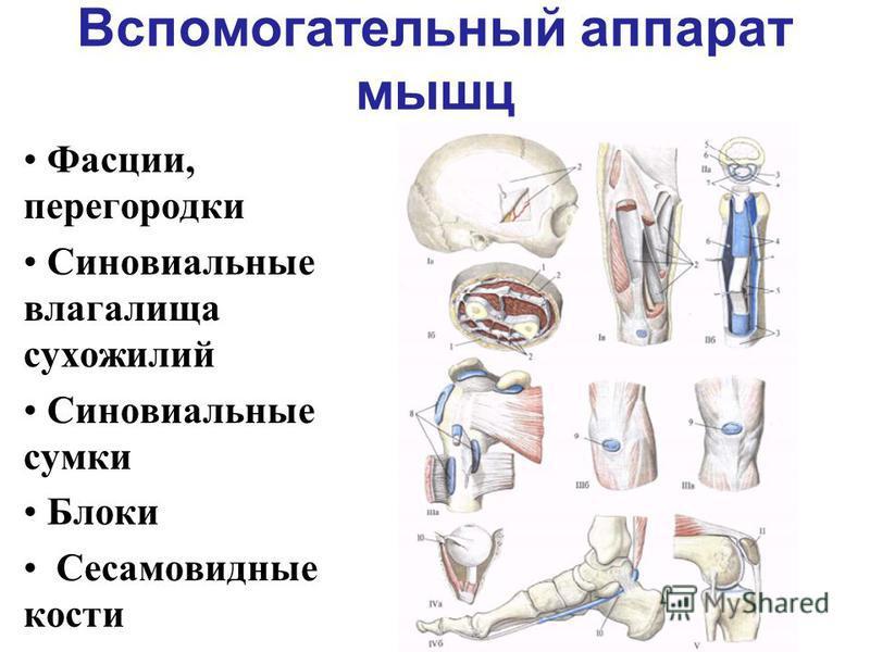 Вспомогательный аппарат мышц Фасции, перегородки Синовиальные влагалища сухожилий Синовиальные сумки Блоки Сесамовидные кости