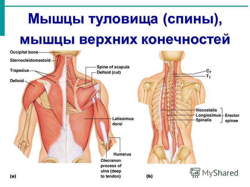 Мышцы туловища (спины), мышцы верхних конечностей